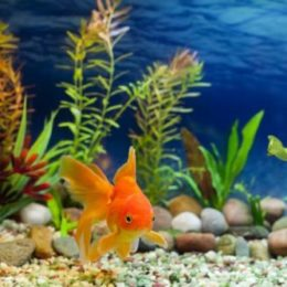 Red fantail - an easy to care fish suitable for beginners