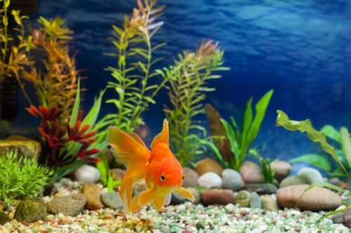 Red fantail – an easy-care fish suitable for beginners