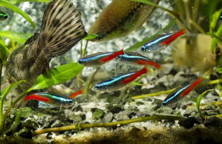 Neon tetra – beginner-friendly fish.
