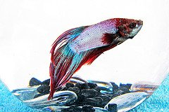 Betta Splendens - Siamese Fighting Fish - Beginner Friendly