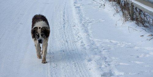 Dog in heat should not walk off leash