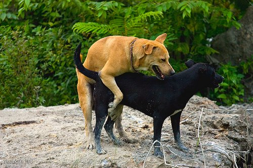 Female dog allows male to jump on her during estrus