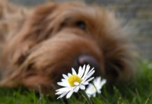 dog and a daisy