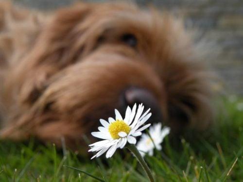 dog and a daisy