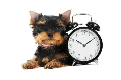 How often dogs go in to heat? Do they work like a clock?