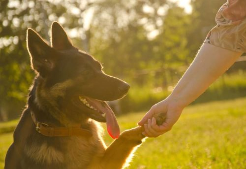 German shepherd giving its paw to its human (in the golden rays of sunlight at the sunset)