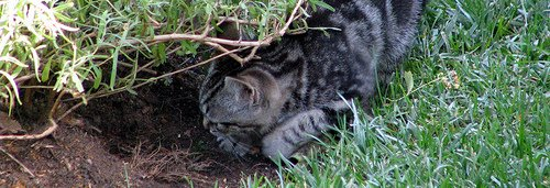 When a kitten starts digging soil, he may be litter trained