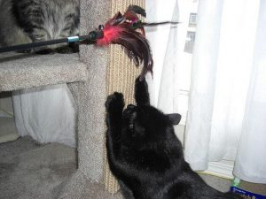 Cat scratching post training using a cat toy.