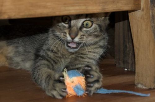 A cat using his leg whiskers to catch a toy mouse