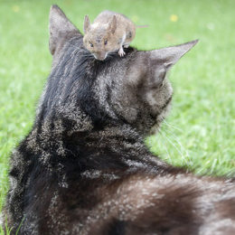 Mouse sitting on a cat«'s head.