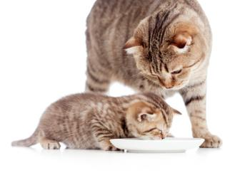 mother and baby cat eating milk from bowl