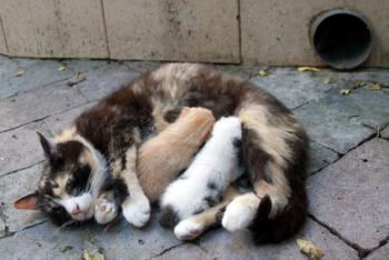 Mother cat nursing her kittens