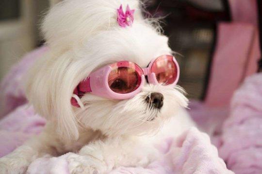 female dog in heat wearing pink glasses