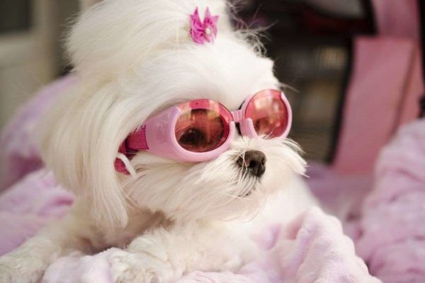 female dog in heat wearing pink glasses