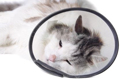 Cat recovery after the surgery