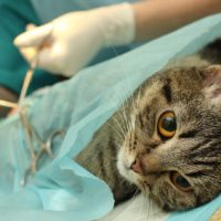 What are benefits and losses of spaying and neutering a cat?