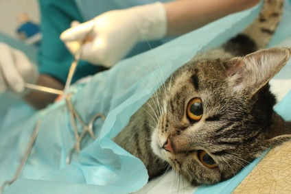 Spaying of a female cat