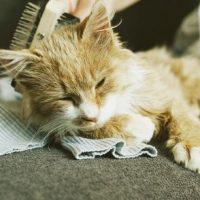 Cat Brushing for Beginners
