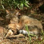 What are the closest relatives to domestic cats?