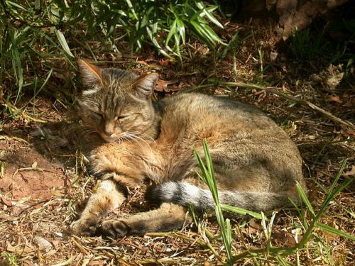 African wildcat - closest relative to a domestic cat