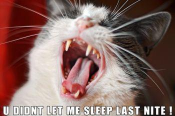 Cat yawning
