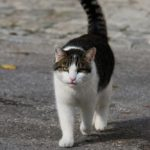 How far from home do domestic cats roam?
