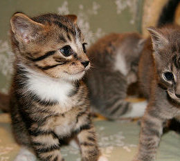 Will My Male Cat Accept A Female Kitten
