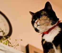 How soon will a cat stop spraying after being neutered?