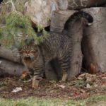 Why neutered cats spray urine and how to make them stop
