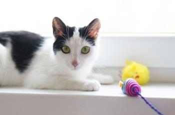 adorable shorthair black and white kitten with green eyes playing on windowsill