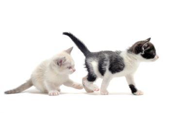 Sexing a kitten