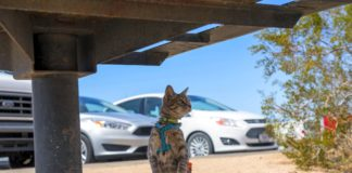 Cat trained to walk on a leash