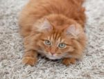 How to stop your cat from clawing carpet?