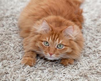 Cat scratchin the carpet