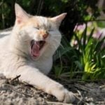 How long do female cats stay in heat?