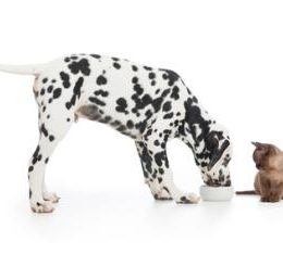 Dalmatian dog eating from bowl and kitten sitting close on white