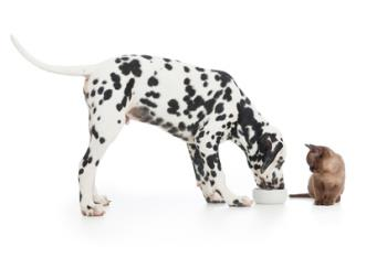 Dalmatian dog eating from bowl and kitten sitting close