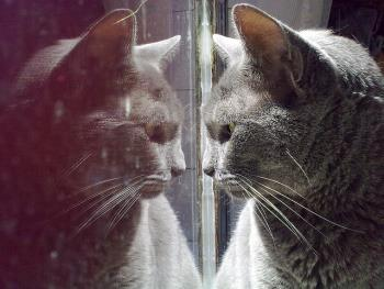 Cat looking at his reflection suspiciously.