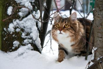 Cat in stress in snow.