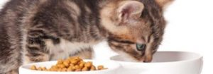 Kitten eating dry food