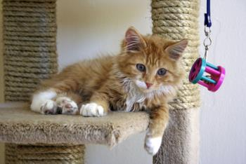Kitten on a cat tree