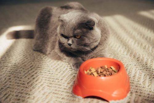 scotish fold cat not eating food