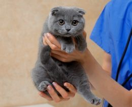 Kitten with diabetes being examined by veterinarian