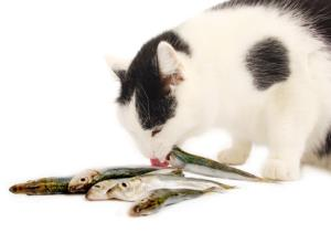 Cat eating raw fish. Cat's should not be fed raw fish in large amounts.