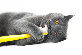 Cat tooth brushing. Cat playing with a tooth brush