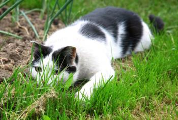 Black white cat hunting and ready to jump out of green grass