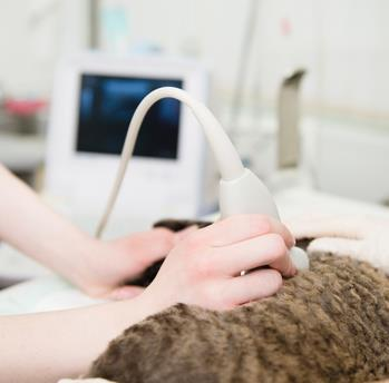 pregnancy in cats - ultrasound