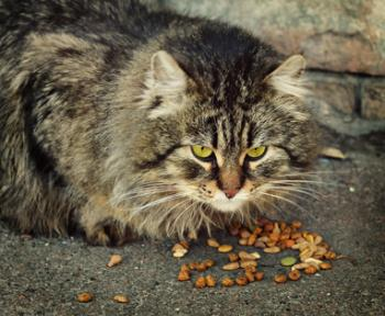 Domestic cat eating dry food outdoors on the back of brick wall