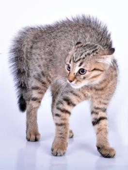 Signs of fear aggression in cats