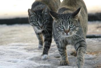 outdoor cats often initiate urine marking in indoor cats